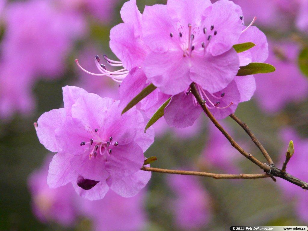 rhododendron_hybr._praecox_06.jpg