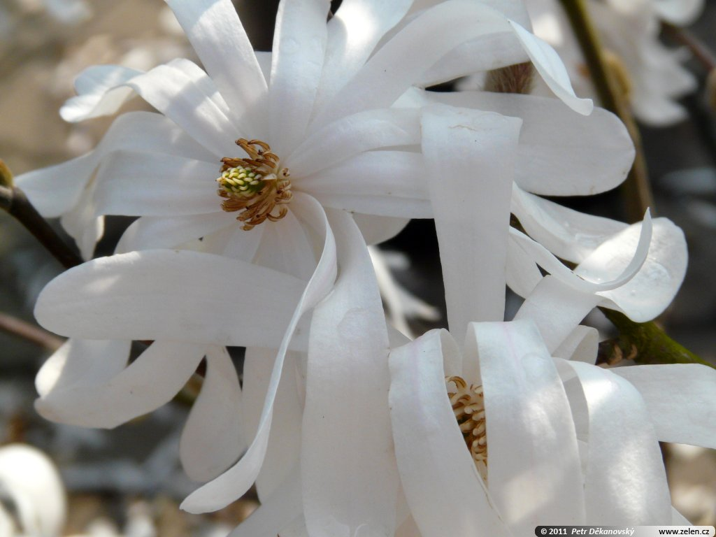 magnolia_stellata_royal_star_01.jpg