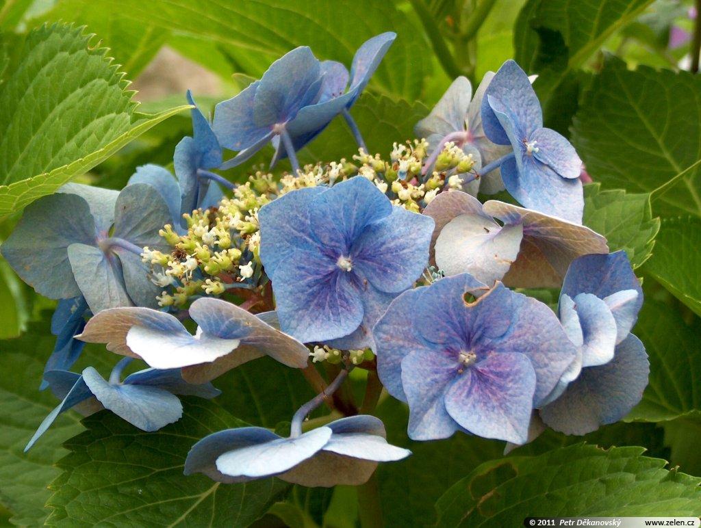 hydrangea_macrophylla_blaumeise_02.jpg