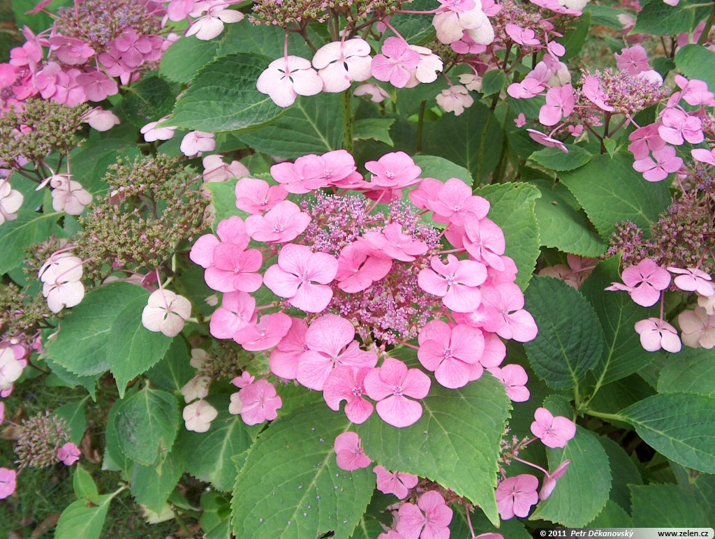 hydrangea_macrophylla_geoffrey_chadbund_01.jpg