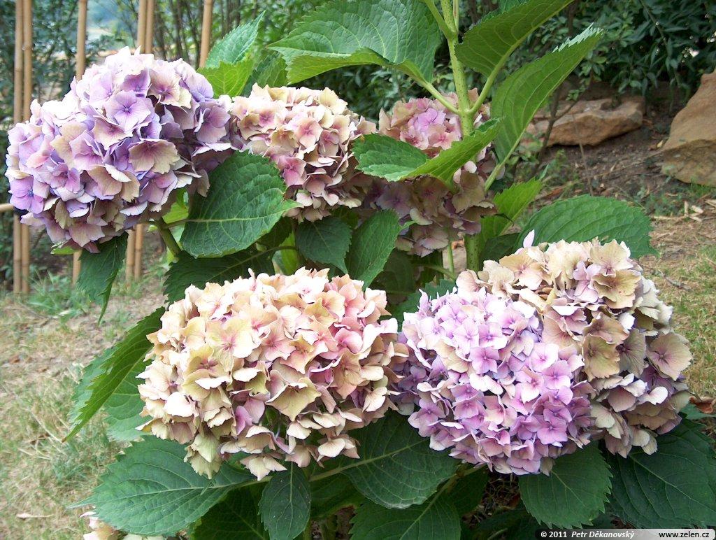 hydrangea_macrophylla_hobella_02.jpg