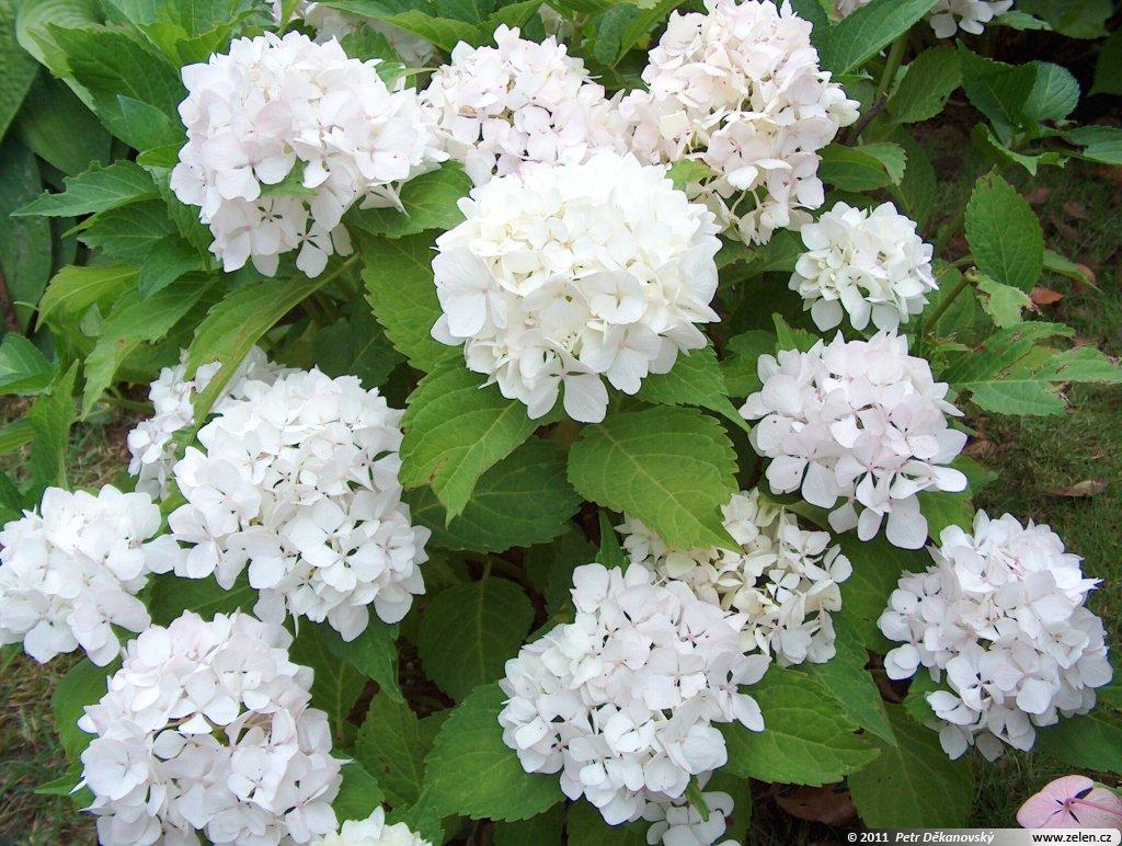 hydrangea_macrophylla_soeur_therese_02.jpg