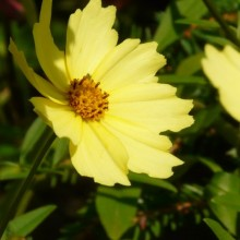 Coreopsis hybr. 'Full Moon'