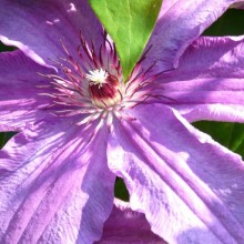 Clematis hybr. 'Minister'