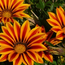 Gazania x splendens 'Daybreak Red Stripe'
