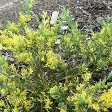 Juniperus pfitzeriana 'Blue and Gold'