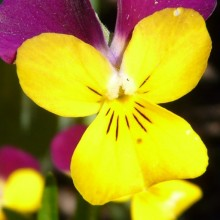 Viola cornuta 'Carpet Purple Wing Yellow'