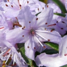 Rhododendron hippophaeoides