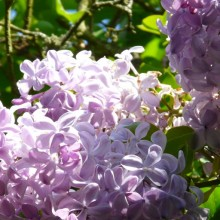 Syringa vulgaris 'Descartes'